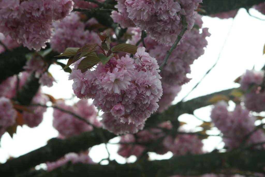Cherry Blossoms in BC