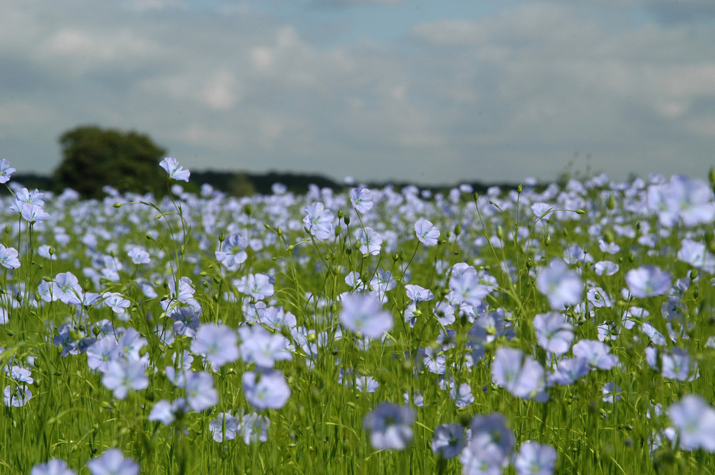 A field of flax in France